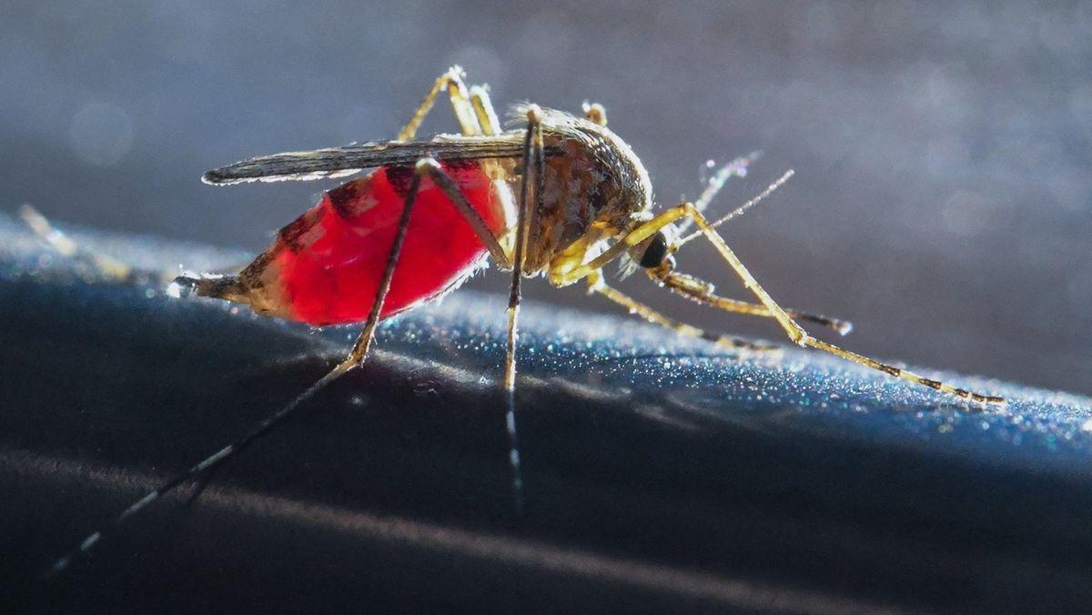 Mücke mit rot durchscheinendem Leib, da sie Blut gesogen hat.