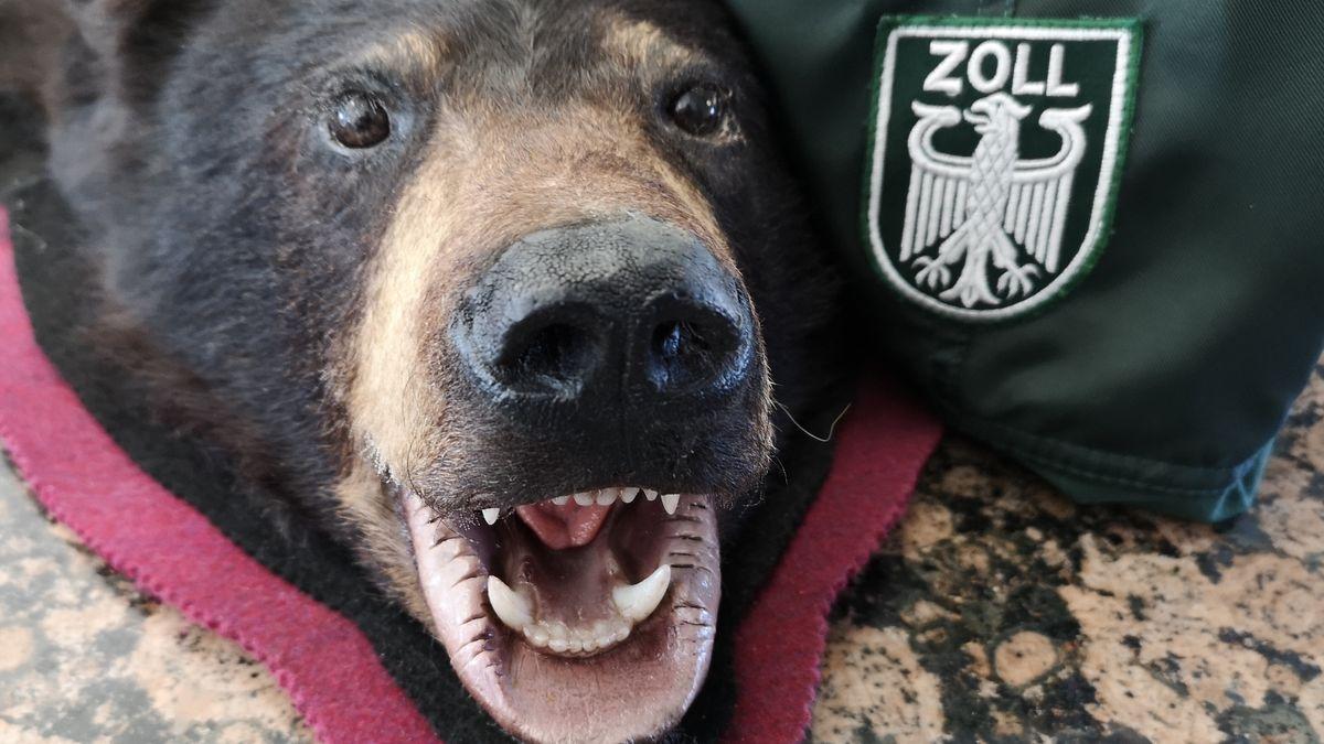 Beschlagnahmt vom Zoll: Bärenfelle und Bärenköpfe