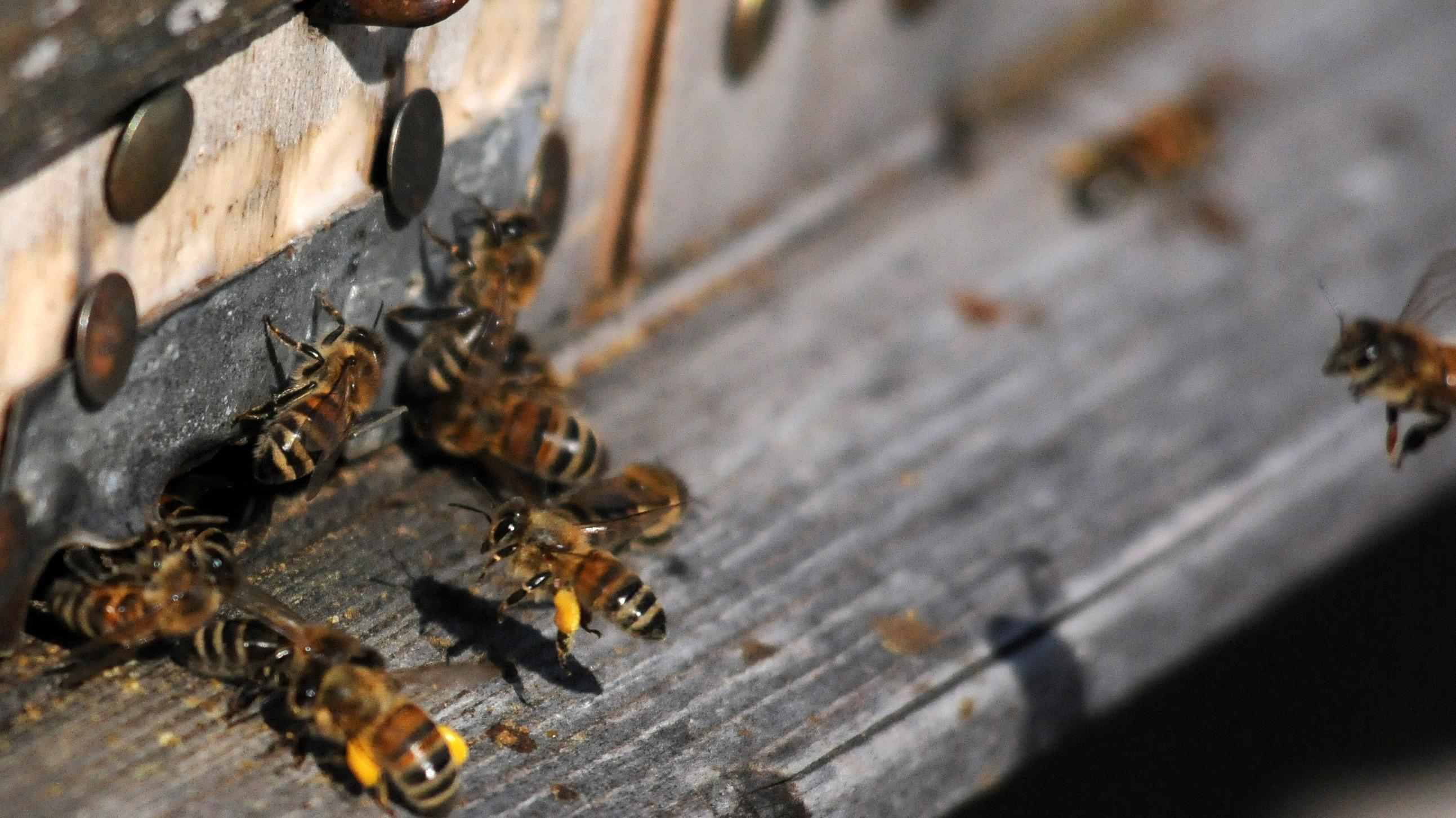 Bienen mit Pollen