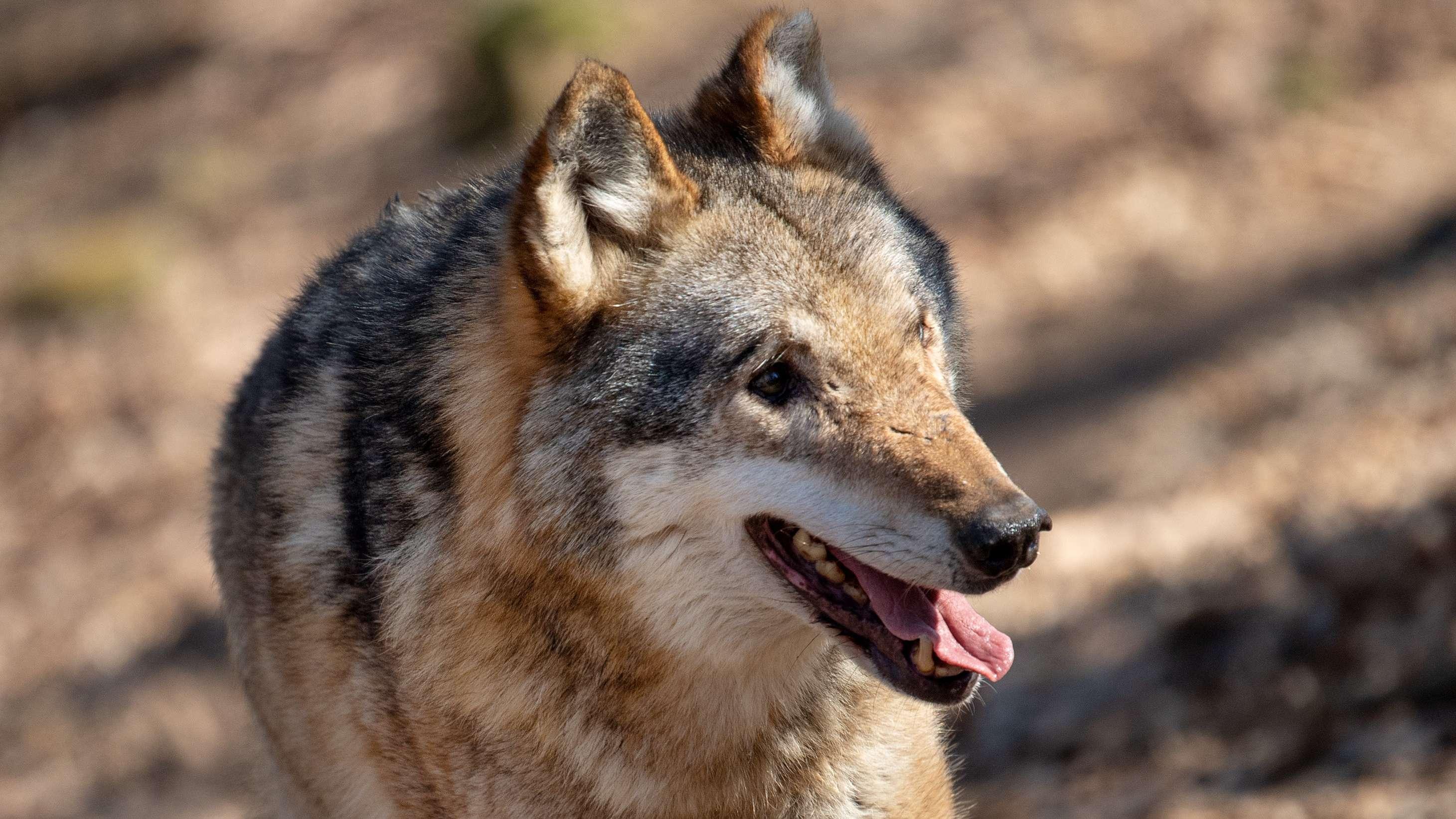 Wolf Symbolbild