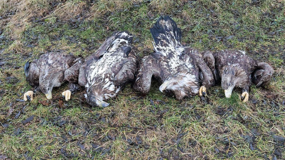 Vier tote Seeadler bei Klattau.