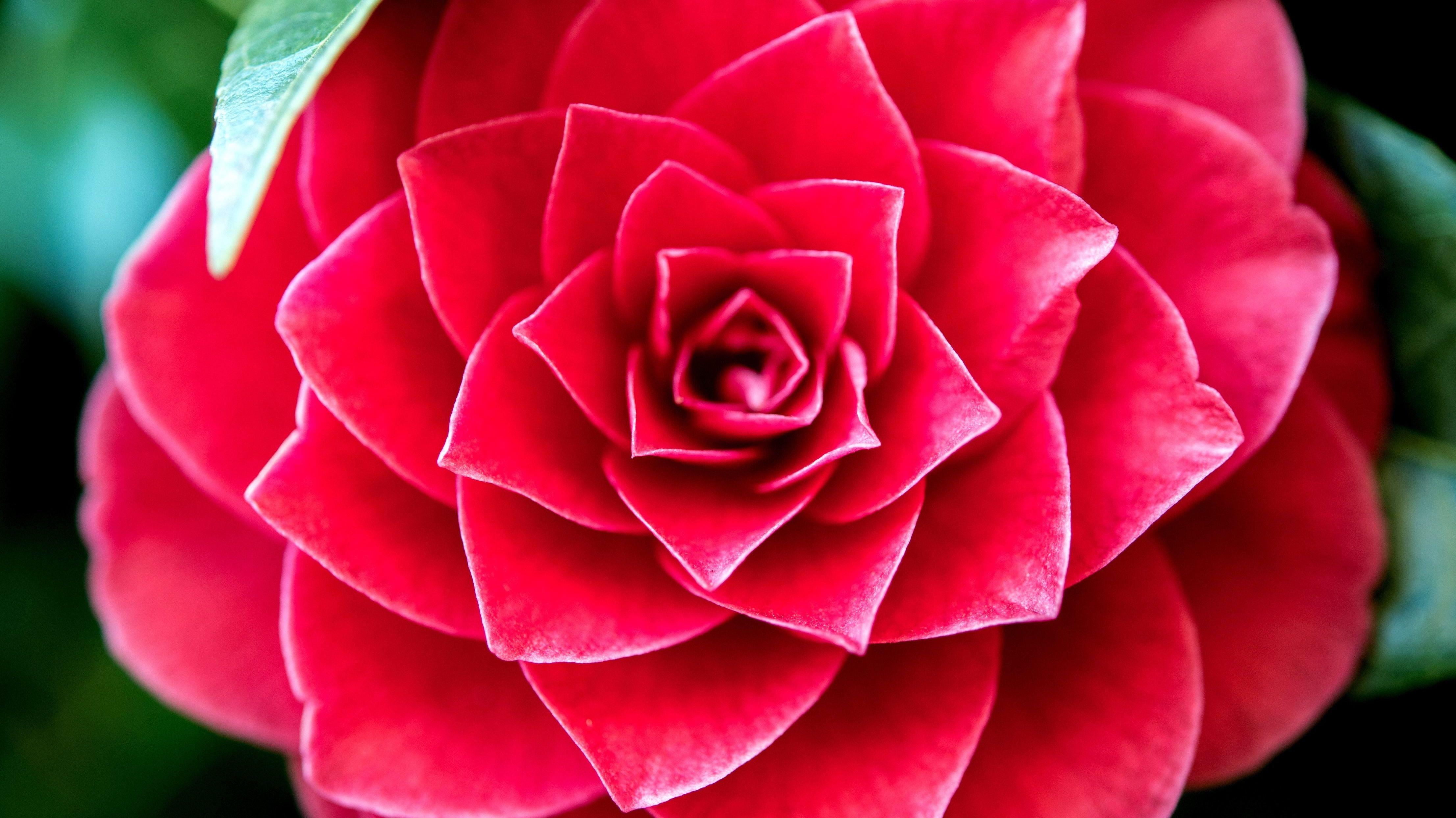 Eine rote Kamelie (Camellia japonica)