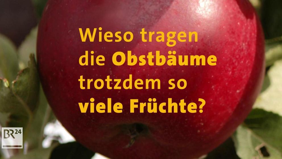 #frag BR24 Warum gibt es heuer so viel Obst? | Bild:BR24