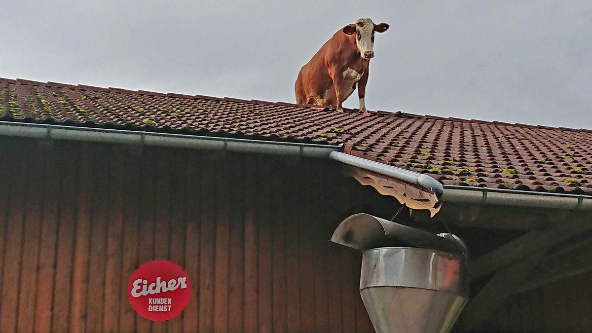 Die Kuh Irene auf dem Dach