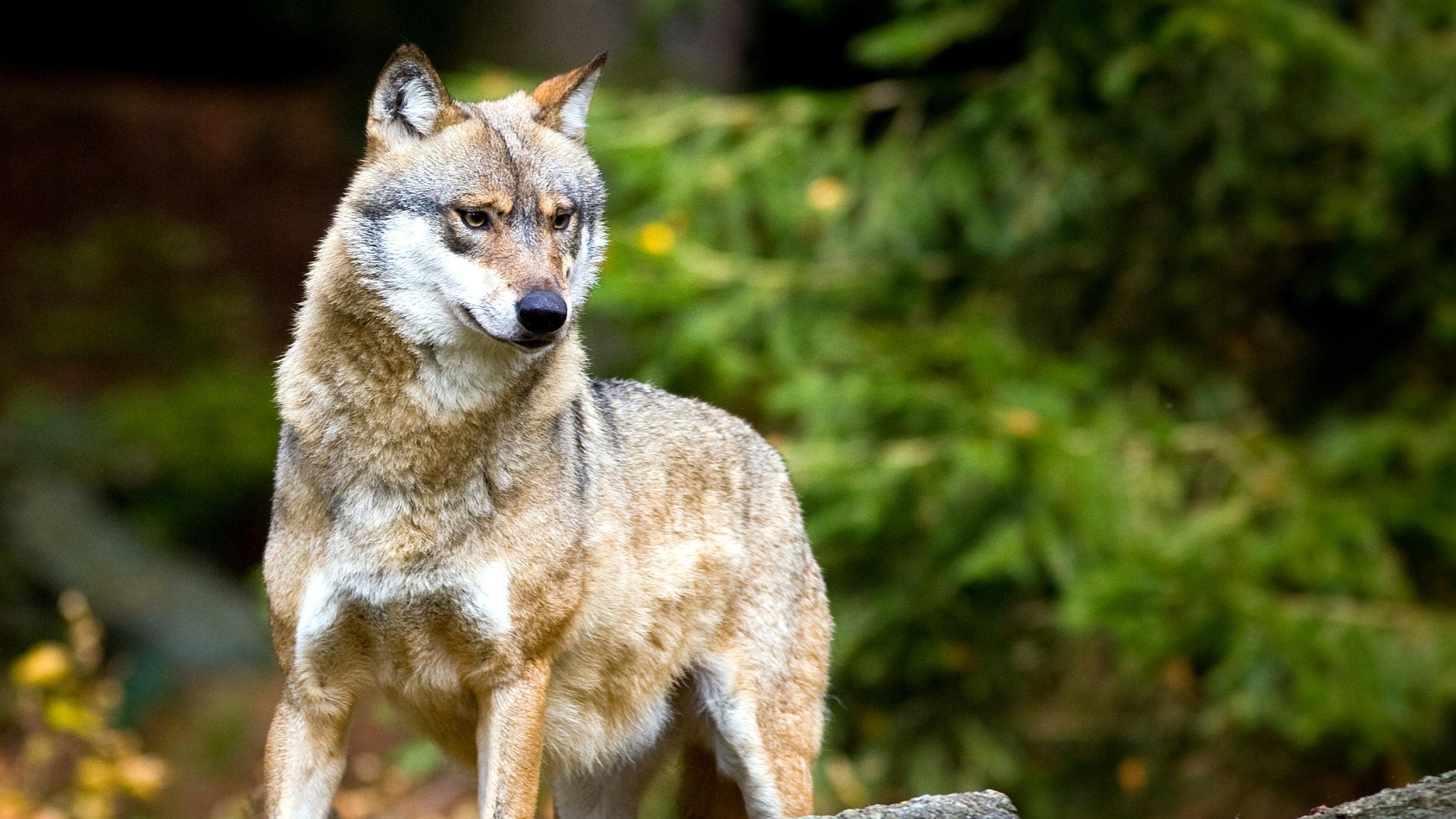 Wolf im bayerischen Wald