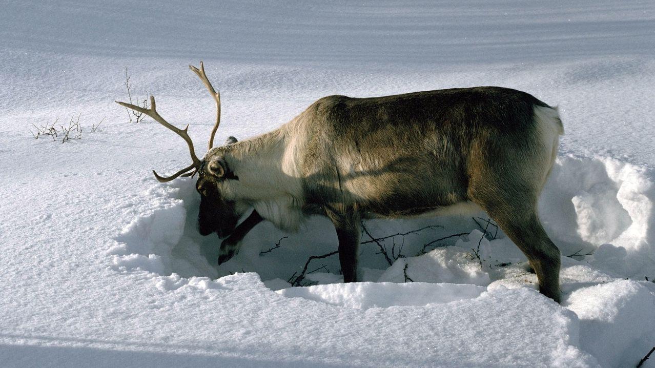 Rentier wühlt im Schnee nach Flechten, der Hauptnahrung der Tiere im Winter.