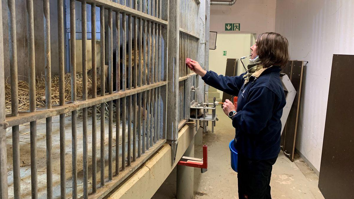 Nürnberger Tiergarten will der Löwenliebe auf die Sprünge helfen