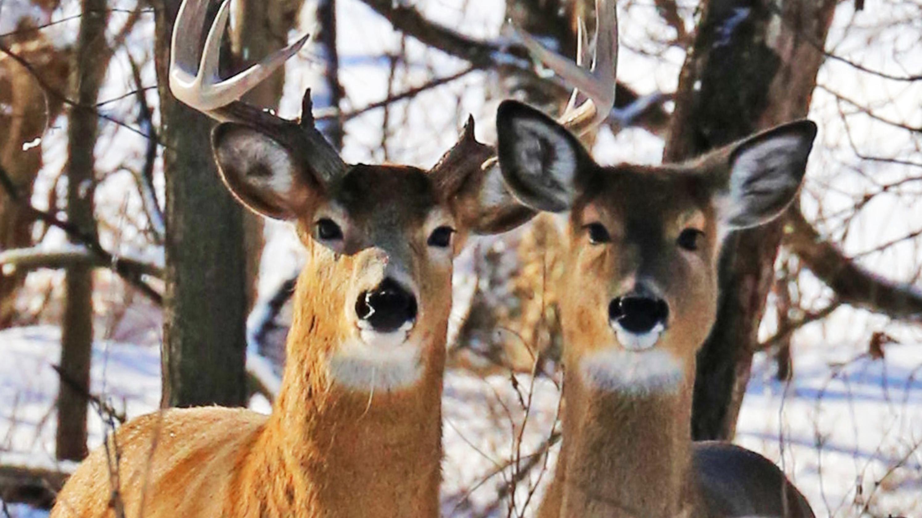 Zwei Hirsche, aufgenommen in einem Gebiet, in dem Tiere mit der ansteckenden Hirnkrankheit CWD gefunden wurden.