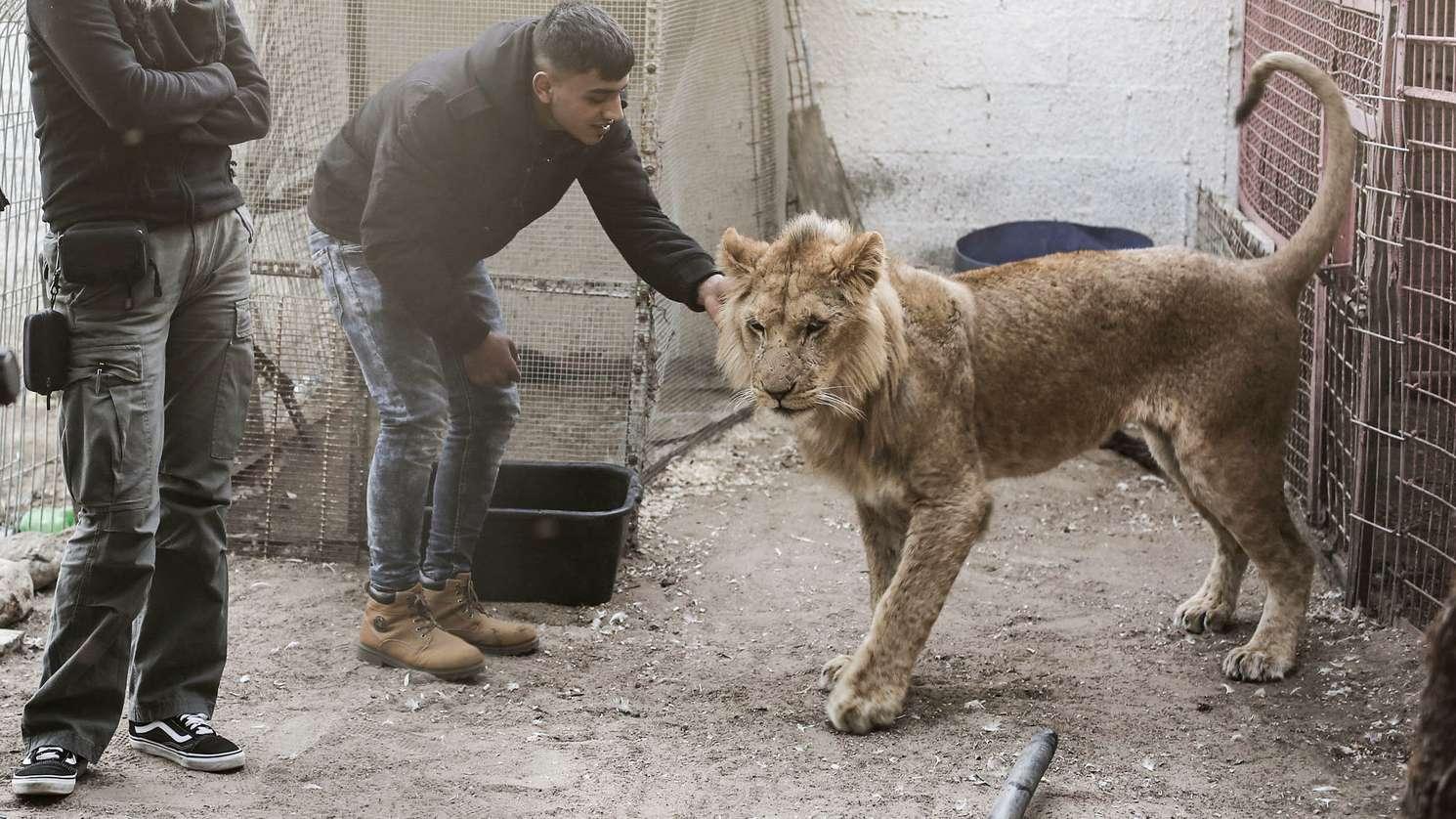 """alästinensische Autonomiegebiete, Rafah: Ein Mitglied der Internationalen Tierschutzorganisation """"Four Paws"""" (Vier Pfoten) steht neben einer Löwin in einem Zoo in Rafah, als der Zooinhaber zustimmte, die Tiere an die Organisation zu übergeben, die sie evakuieren und in ein jordanisches Reservat transportieren wird, um sie vor den bedauerlichen Bedingungen zu retten."""