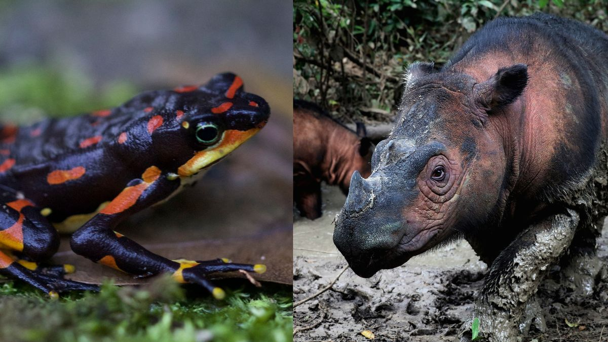 Links der Atelopus varius aus der Familie der Kröten, rechts das Sumatra-Nashorn. Beide sind vom Aussterben bedroht.