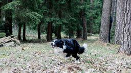 Wenn Hunde Wildtiere jagen, dürfen Jäger unter bestimmten Bedingungen schießen.  | Bild:BR