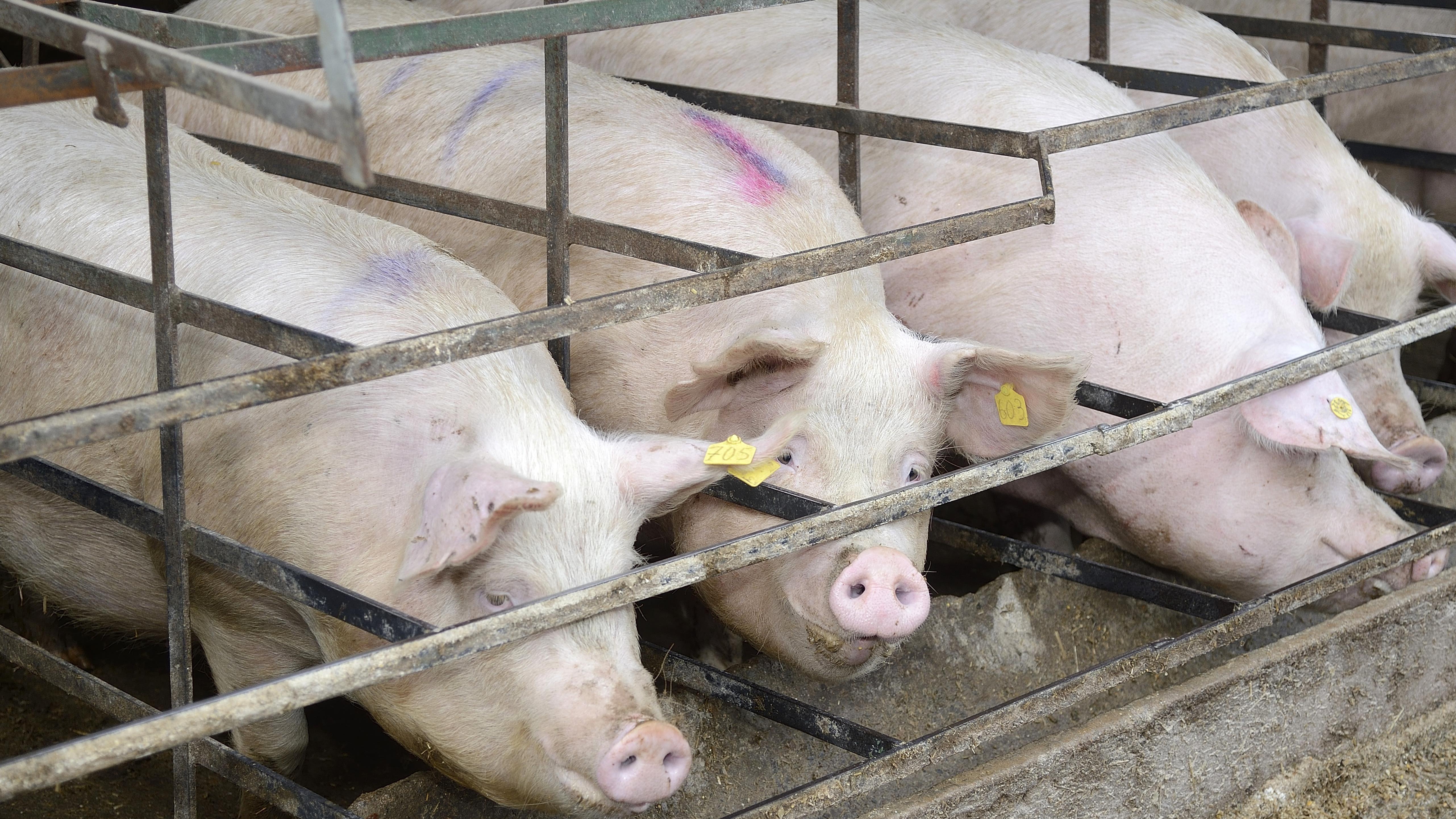 Schweine in Schweinemastanlage, Overath-Heiligenhaus, Nordrhein-Westfalen