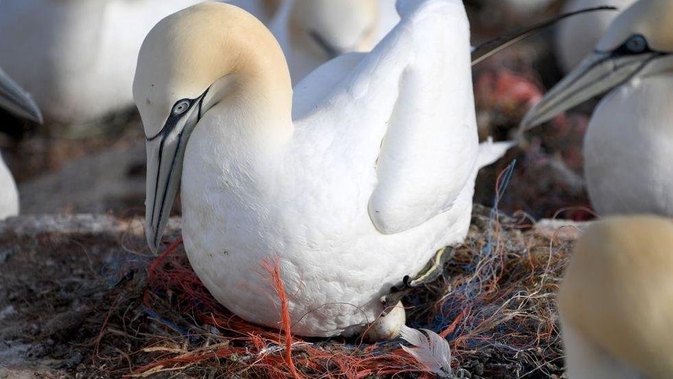 Erhängt und verhungert: Plastik, tödliche Gefahr für Basstölpel