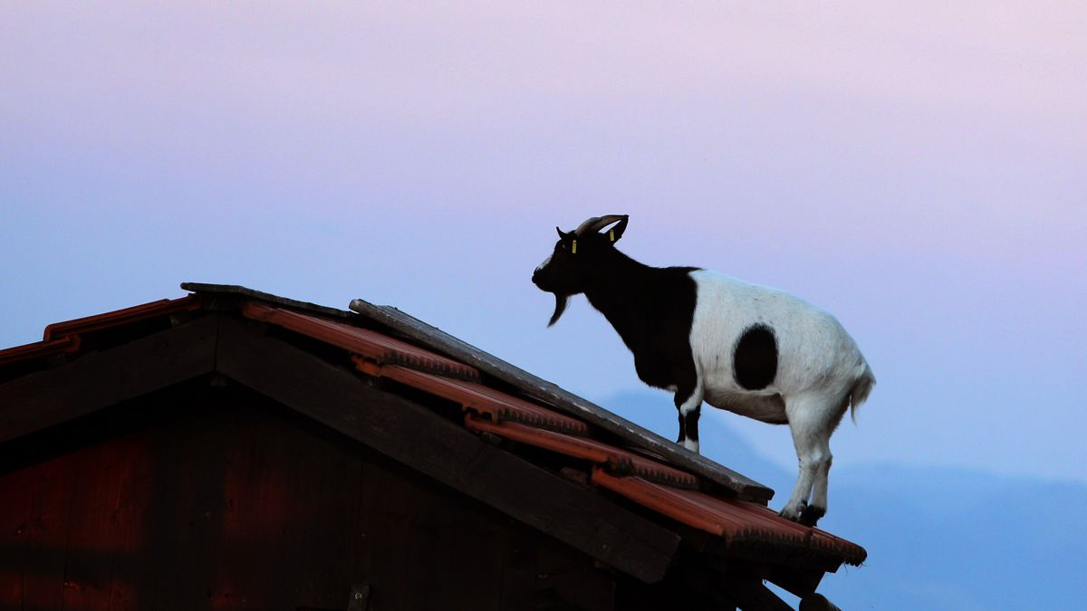 Ziege auf einen Dach (Symbolbild)