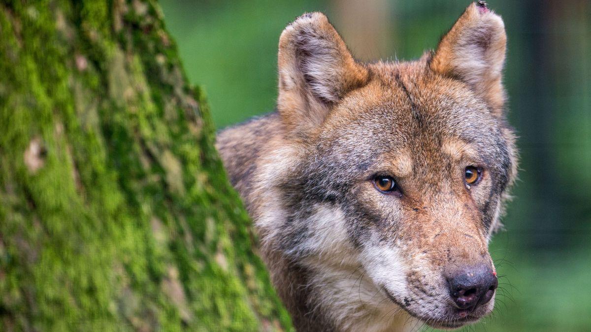 Wolf (Symbolbild)
