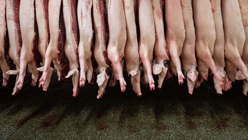 Halbierte Schweine hängen in einem  Schlachthof in Niedersachsen.