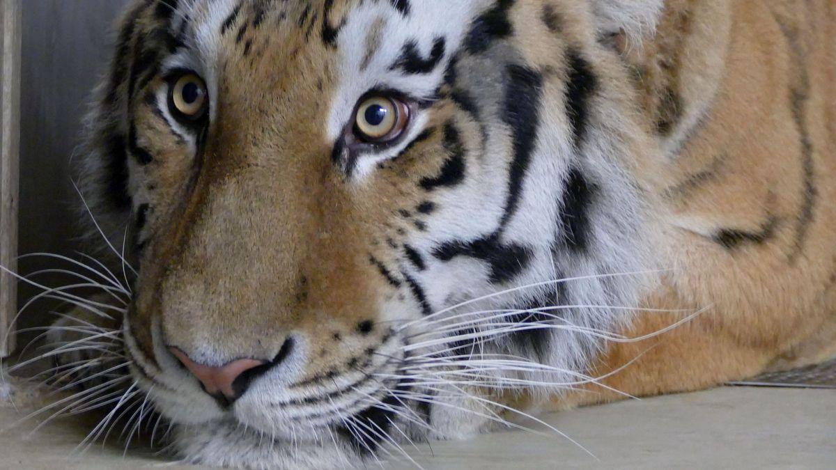 Der sibirische Tiger Nikolai soll in Nürnberg für Nachwuchs sorgen.