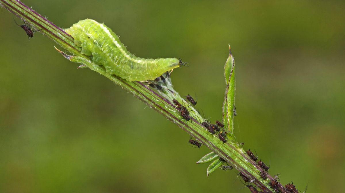 Eine grüne Larve der Schwebfliege macht sich über schwarze Blattläuse auf einem Ast her.