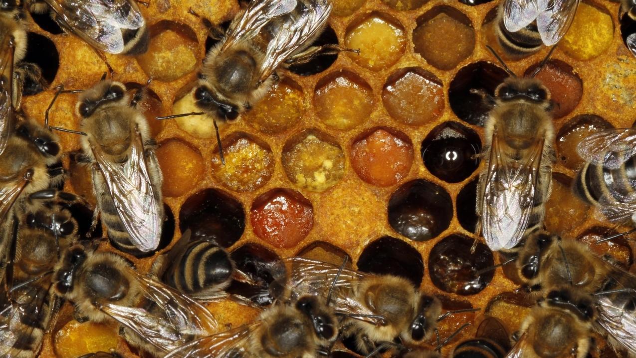 Bienenstaat