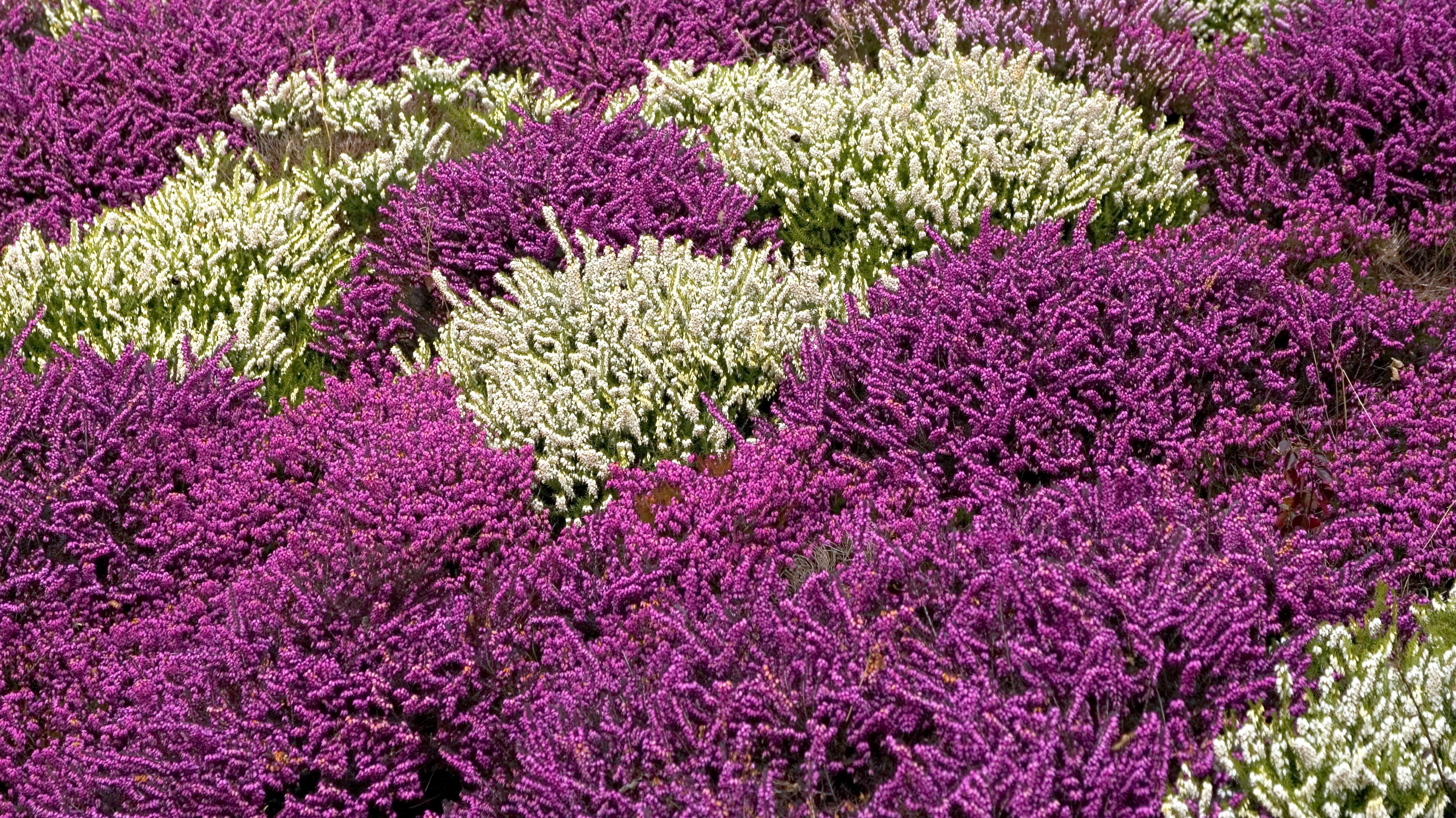 Violettes und weißes Heidekraut