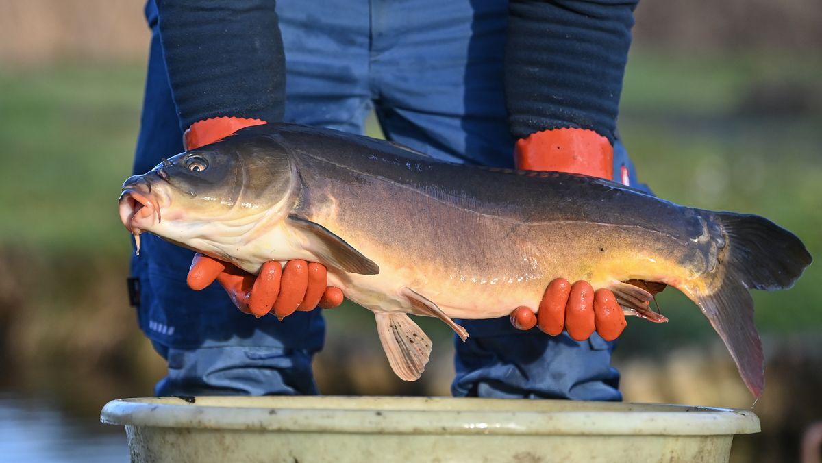 Ein Fischer hält einen Karpfen in seinen Händen. (Symbolbild)