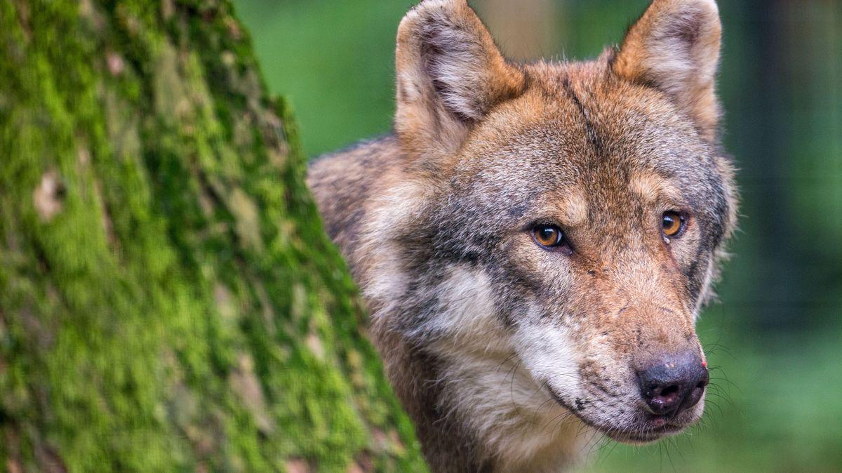 Ein Wolf schaut hinter einem Baum im Wildpark Poing hervor.