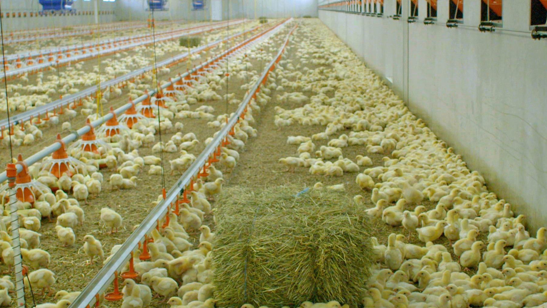 Masthühner in einem Betrieb in Bayern