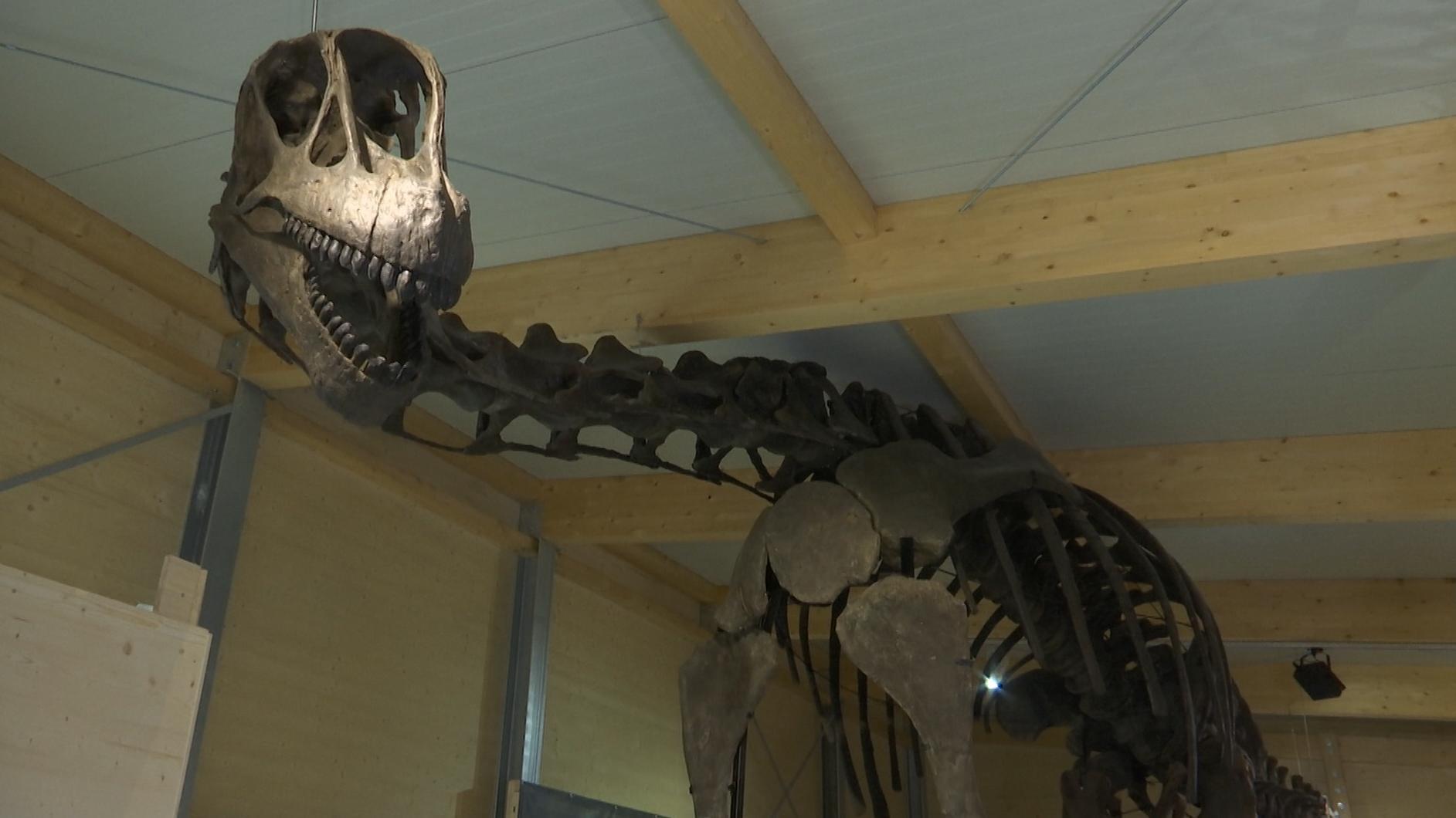 Skelett eines Brachiosauriers