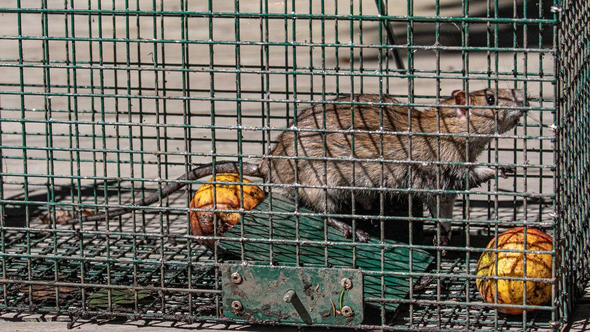 Ratte in einer Lebendfalle