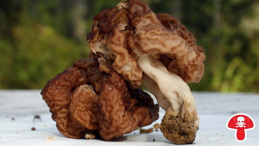 Die giftige Frühjahrs-Lorchel wird häufig mit den essbaren Morcheln verwechselt. Das Gift Gyromitrin greift Leber und Nieren an und kann bis zum Tod führen.