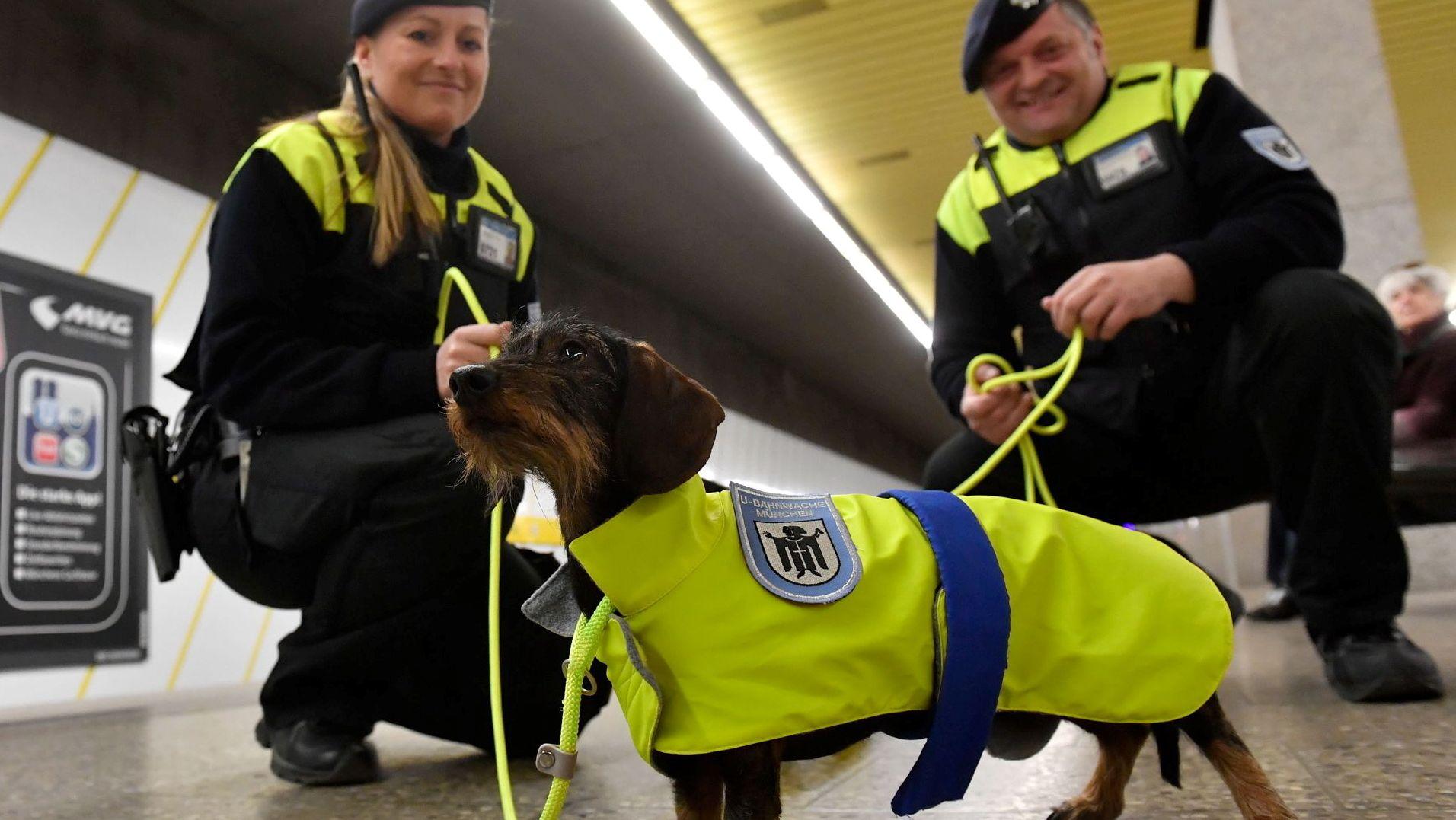 Aus einem Aprilscherz wurde Ernst, aus der Idee wird trotzdem nichts: Die MVG hat dem Ansinnen der CSU-Fraktion im Stadtrat, Dackel als Streifenhunde in U-Bahn-Stationen einzusetzen, eine Absage erteilt.