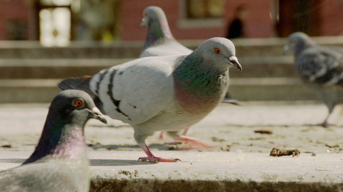 Tauben laufen in München über den Asphalt.
