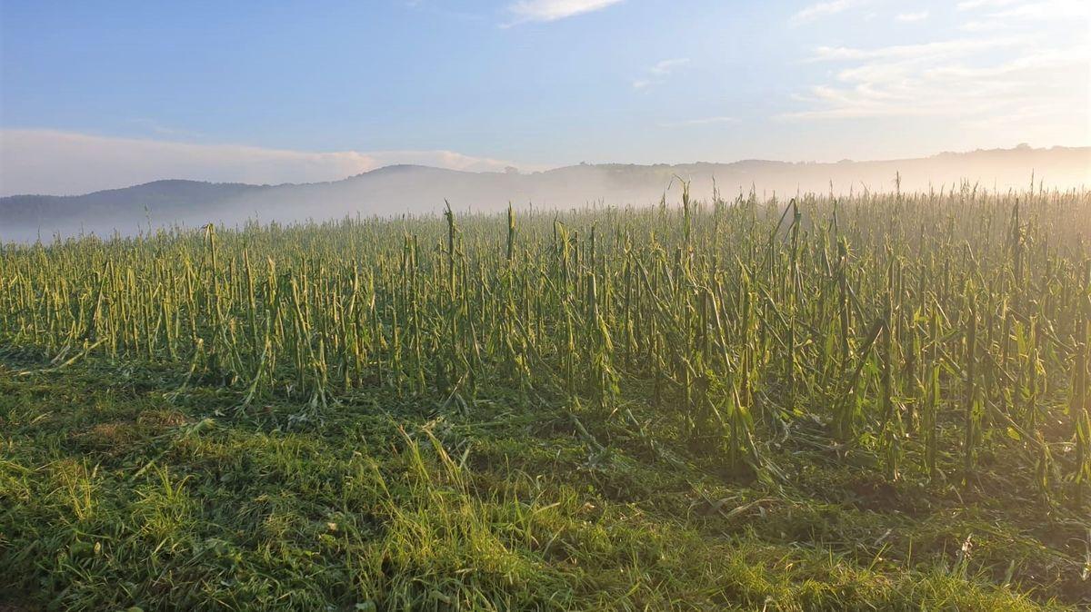 Auch Felder wie hier dieses Maisfeld wurden zum Teil vom Hagel völlig zerstört.