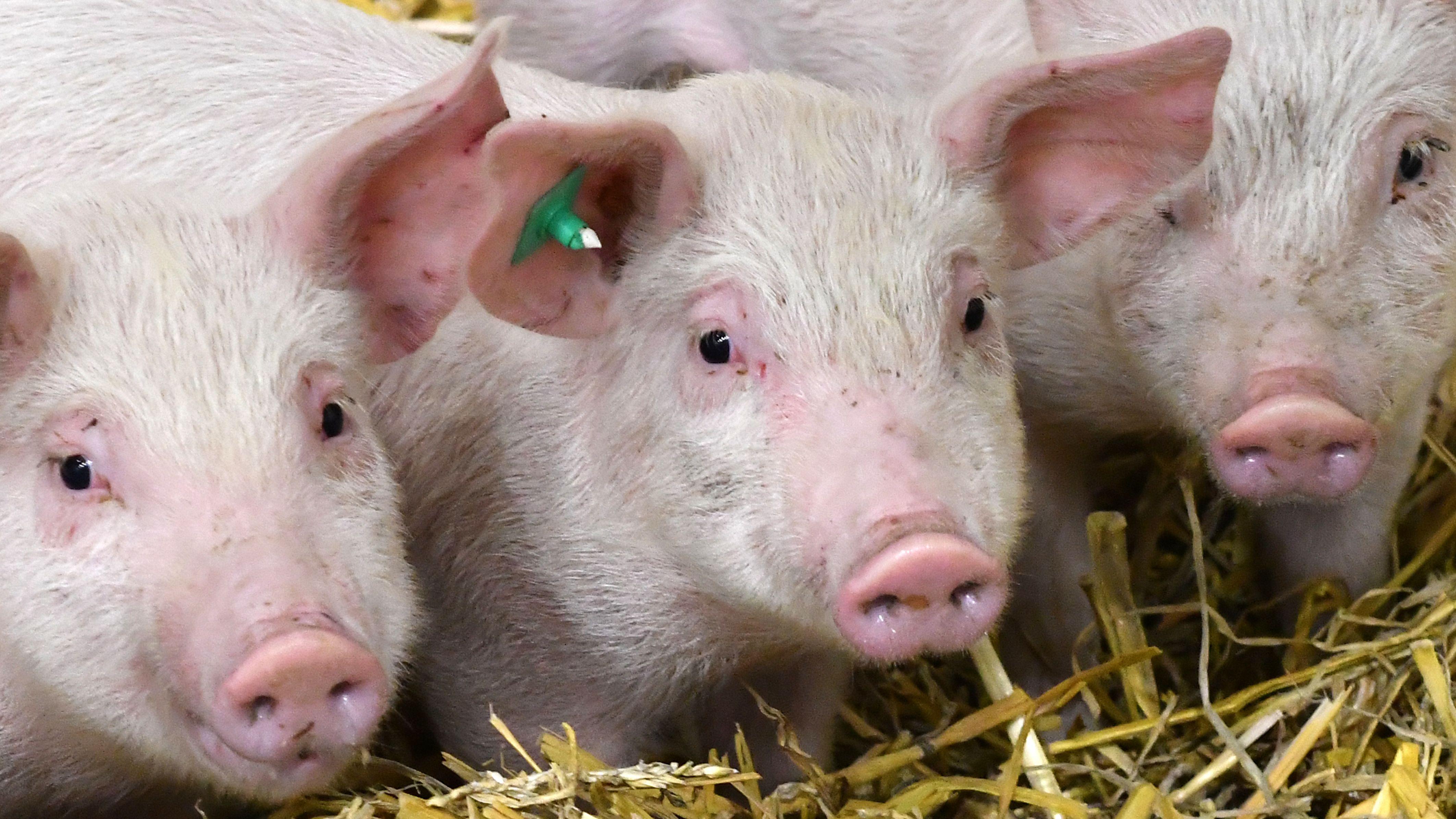 Drei kleine Schweinchen auf Abwegen: In Bayerdilling im Landkreis Donau-Ries sind am Sonntag Morgen Tiere ausgebüxt - und durch den Ort spaziert.