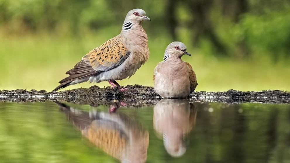 Zwei Turteltauben (Streptopelia turtur). Turteltauben sind laut der Roten Liste der Brutvögel Deutschlands stark gefährdet.