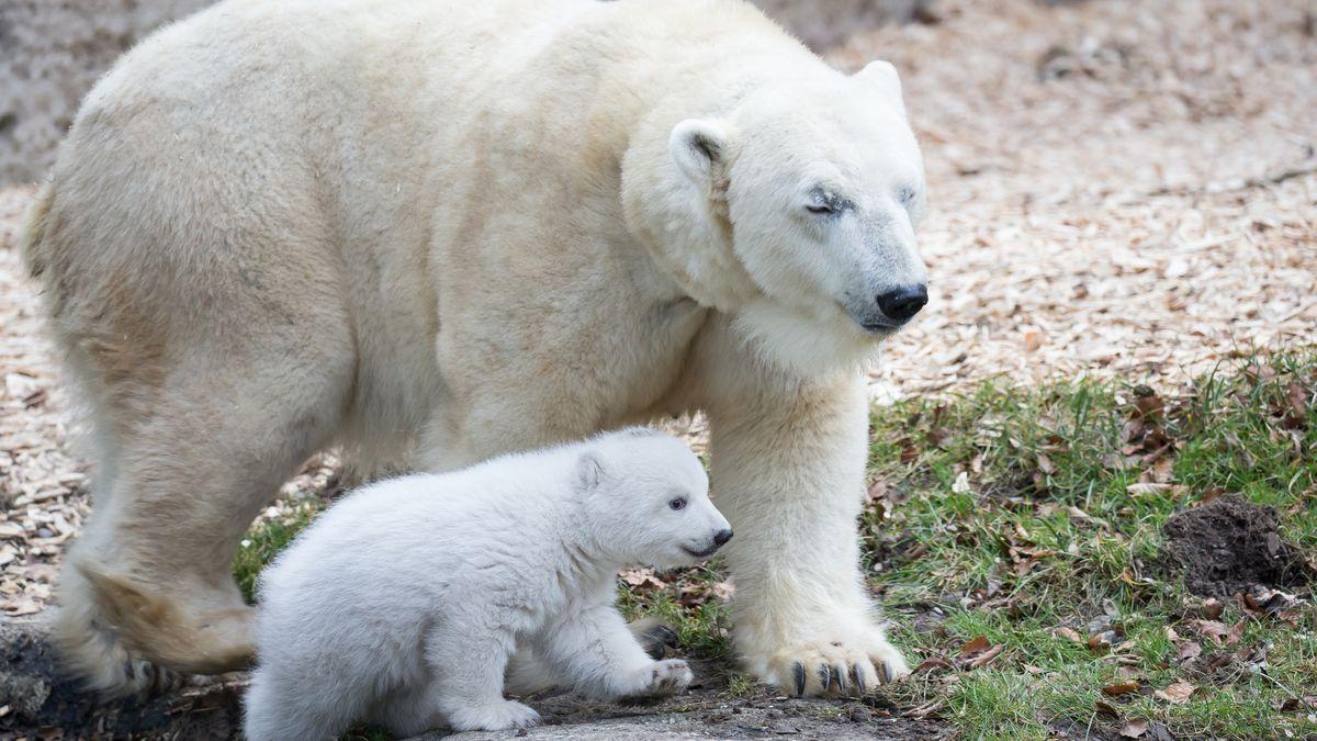 Eisbärin Giovanna mit ihrer Tochter, dem Eisbärbaby Quintana, im Jahr 2017 im Gehege des Münchner Tierparks Hellabrunn