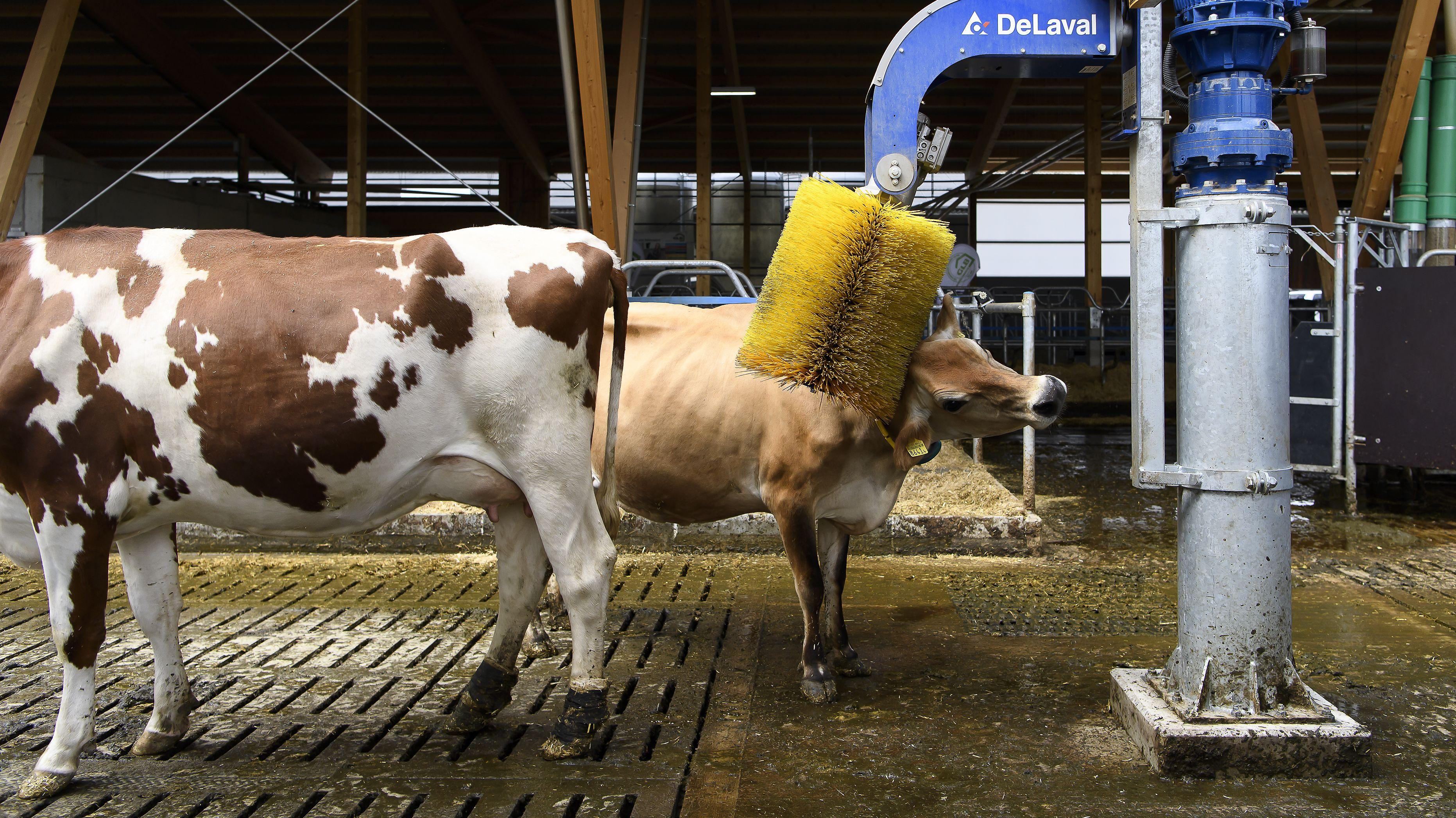 Symbolbild Tierwohl: Eine Kuh wird von einer Maschine gekratzt