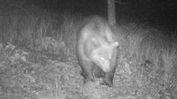 Der Bär stapfte in Fotofalle am Tiroler Plansee.  | Bild:Bezirksjägermeister Arnold Klotz (Tirol)