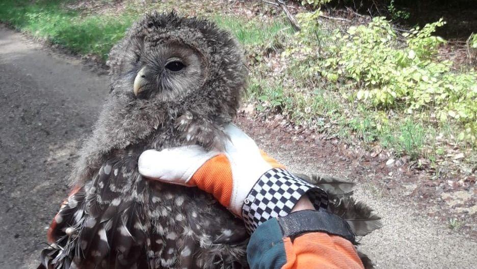 Der gefundene Habichtskauz, ein Jungtier