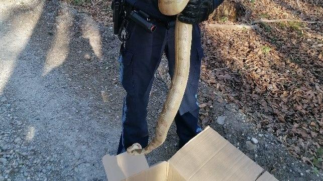 Polizeimeister Jonas Zink packt die Schlange in einen Karton.