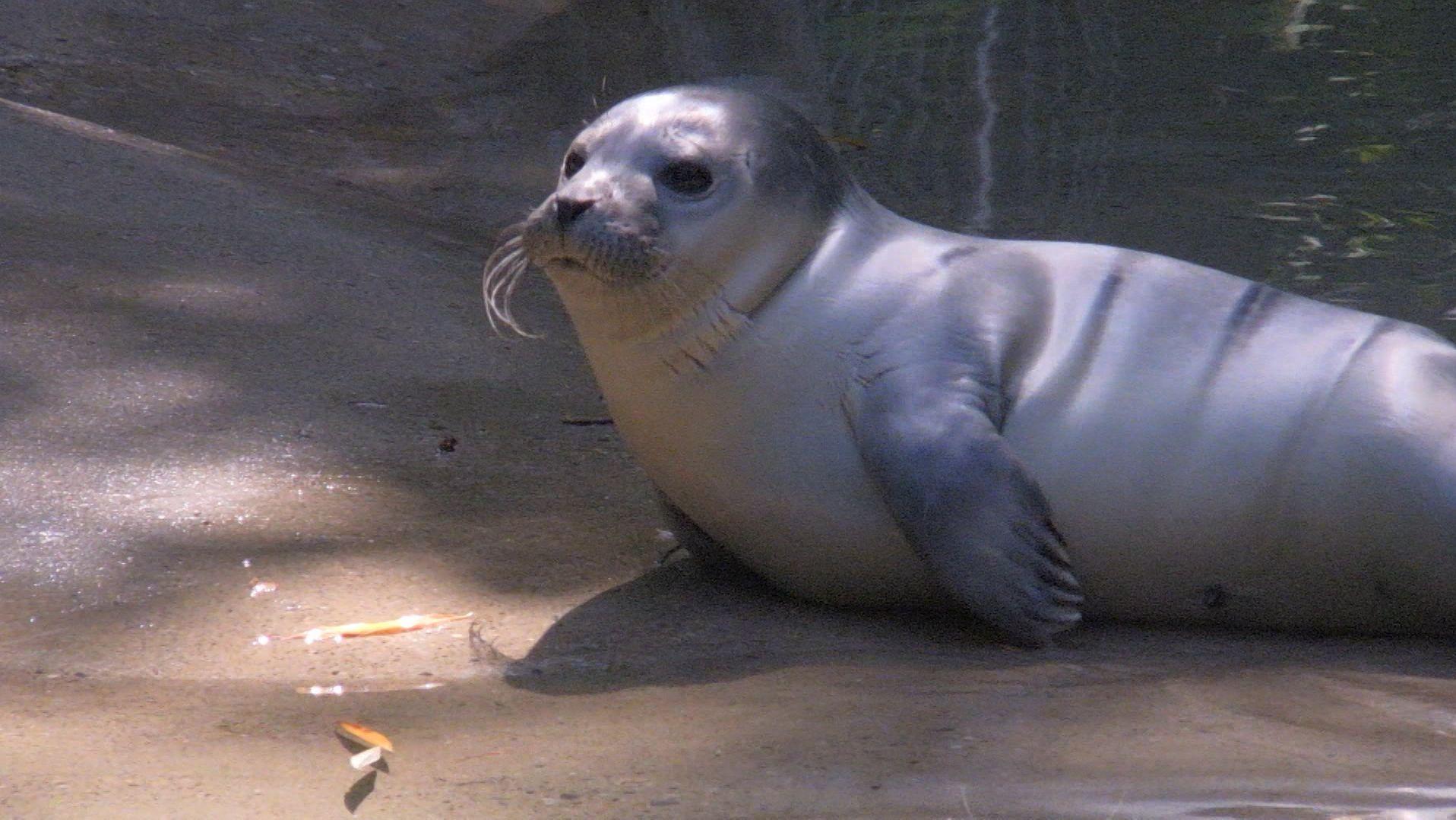 Der Zoo in der Schwaben-Metropole hat eine neue Attraktion: Seit einer Woche schwimmt ein kleiner Seehund durch das Becken.