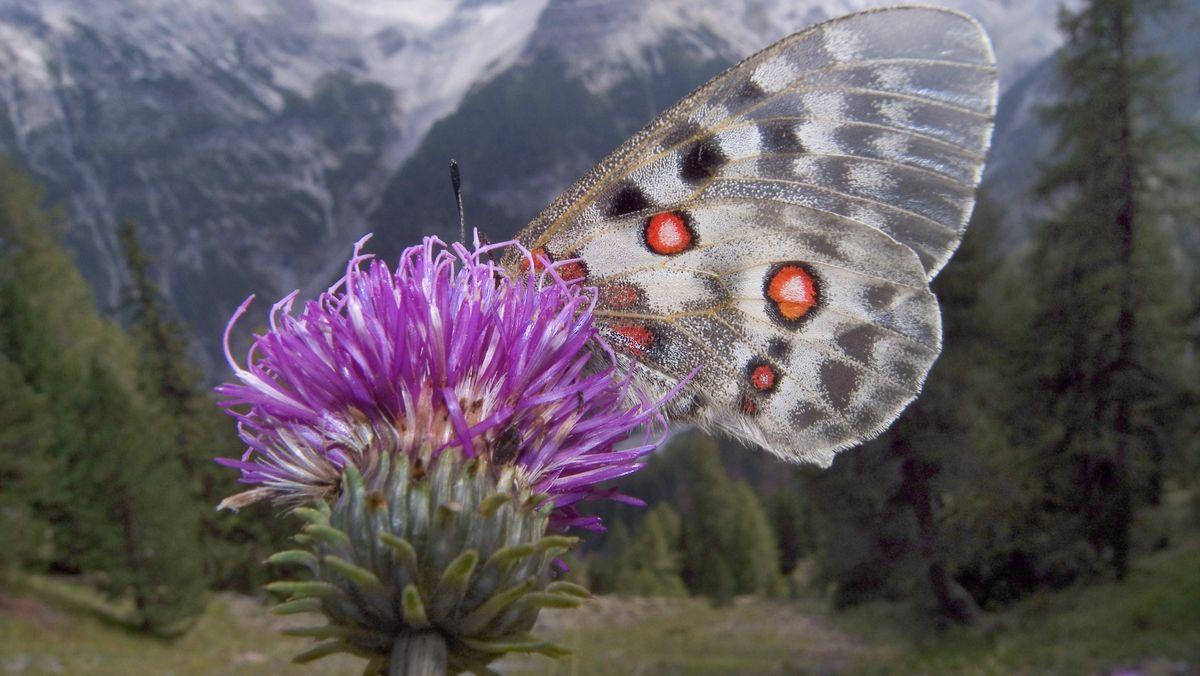 """Apollofalter in den Alpen: Der Klimawandel führt dazu, dass er in höhere Gebiete """"umzieht""""."""