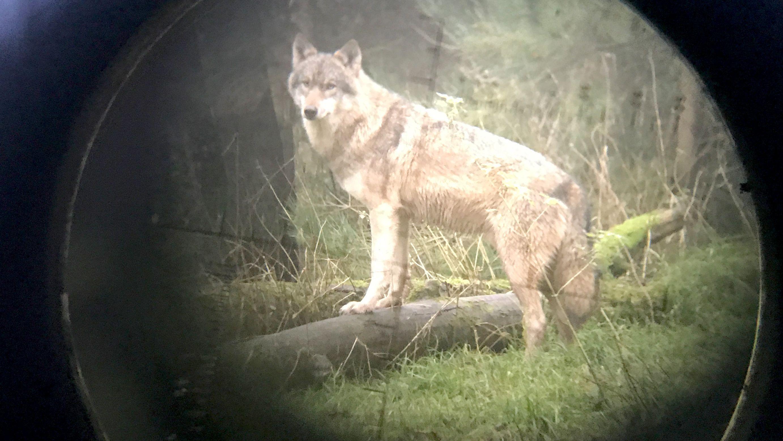 Wolf darf abgeschossen werden