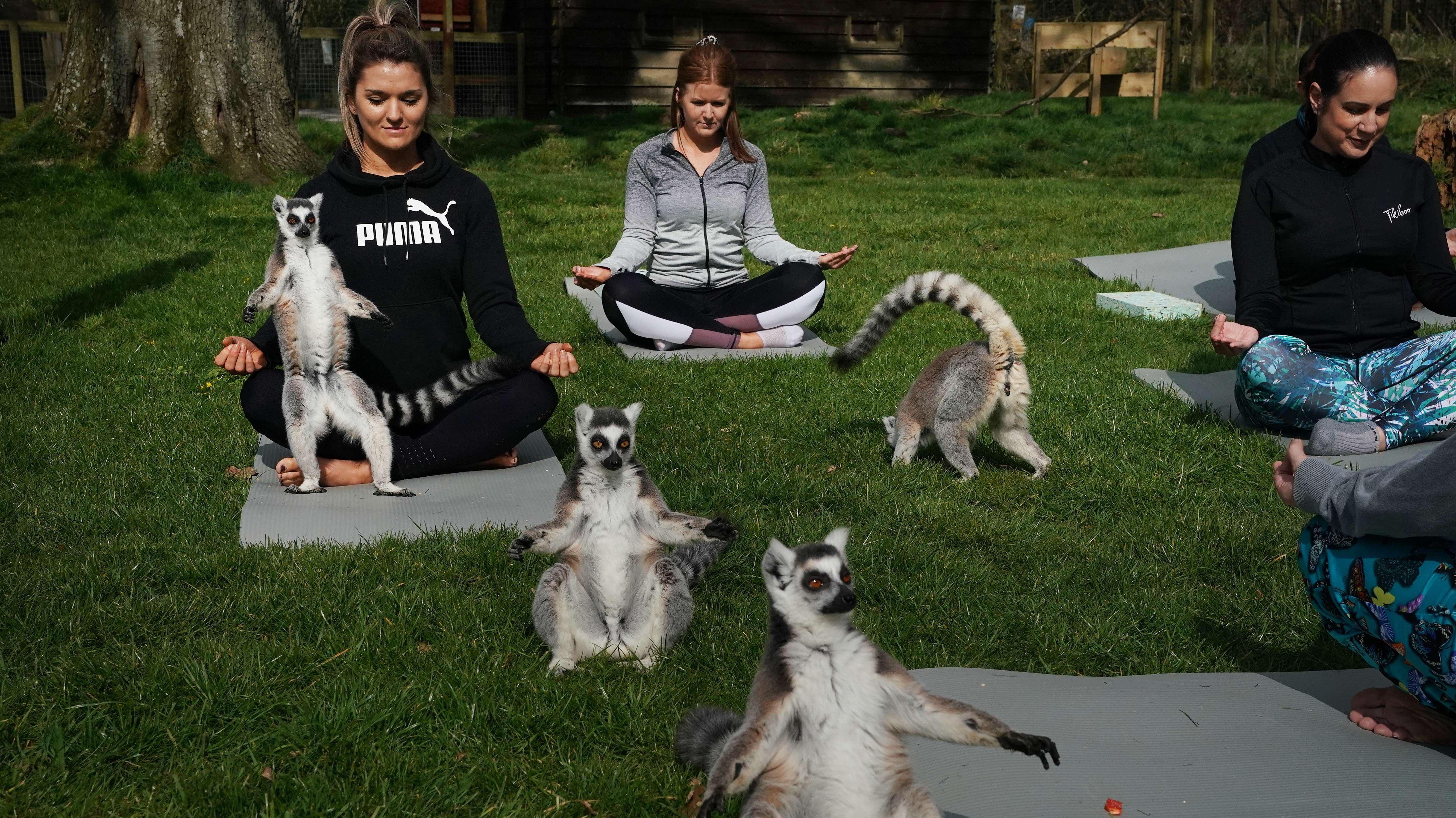 """""""Lemoga""""-Kurs in einem Hotel in Keswick, Großbritannien: Lemuren sind mir ihrer freundlichen und geselligen Art die perfekten Yoga-Partner."""