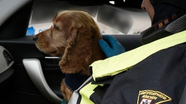 Cocker Spaniel, der aus einem stark beschädigten Auto befreit worden ist.