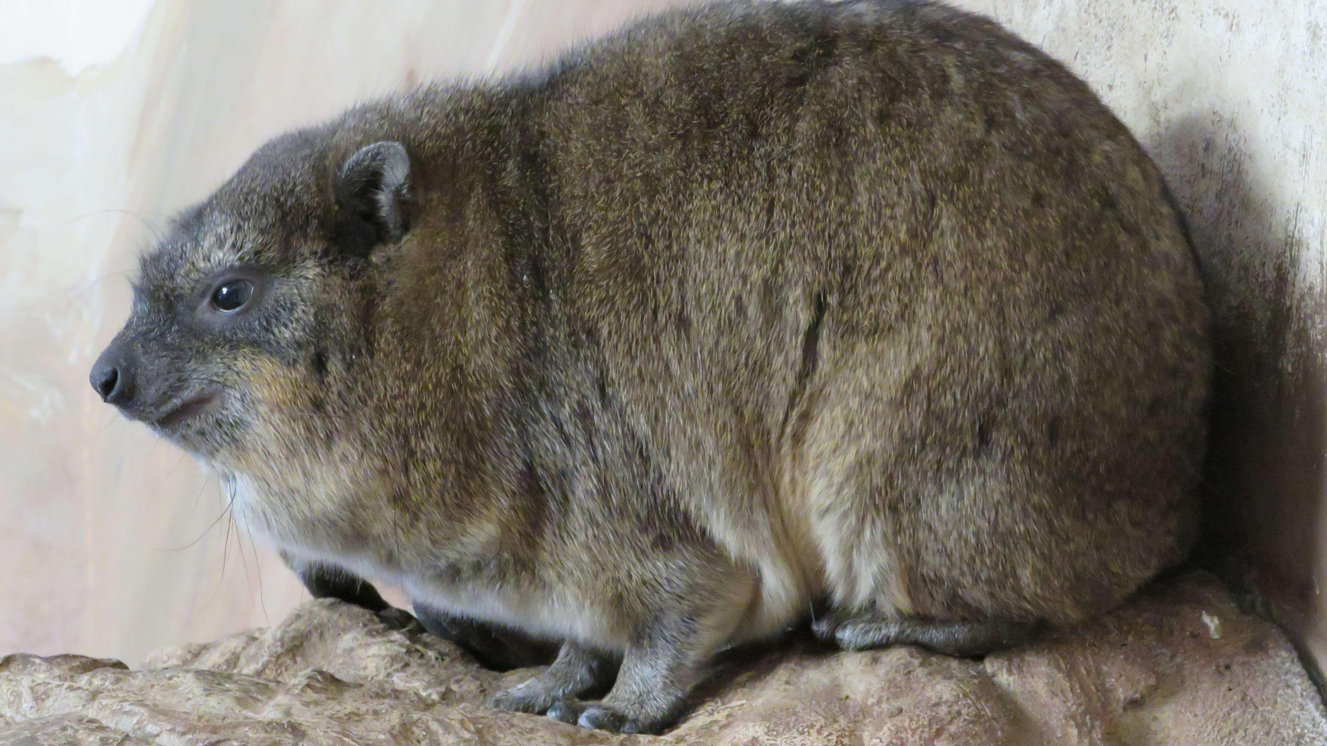 Die Klippschliefer mit ihrem niedrigen Körperbau verweilen gerne in Brustlage.