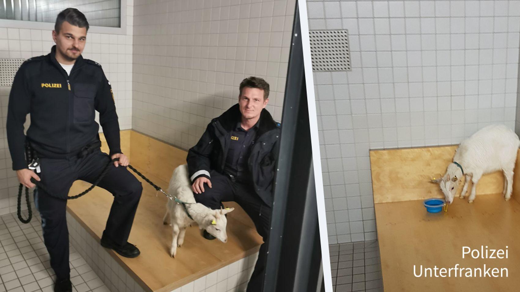 Beamte der Verkehrspolizei Schweinfurt mit eingefangenem Zicklein
