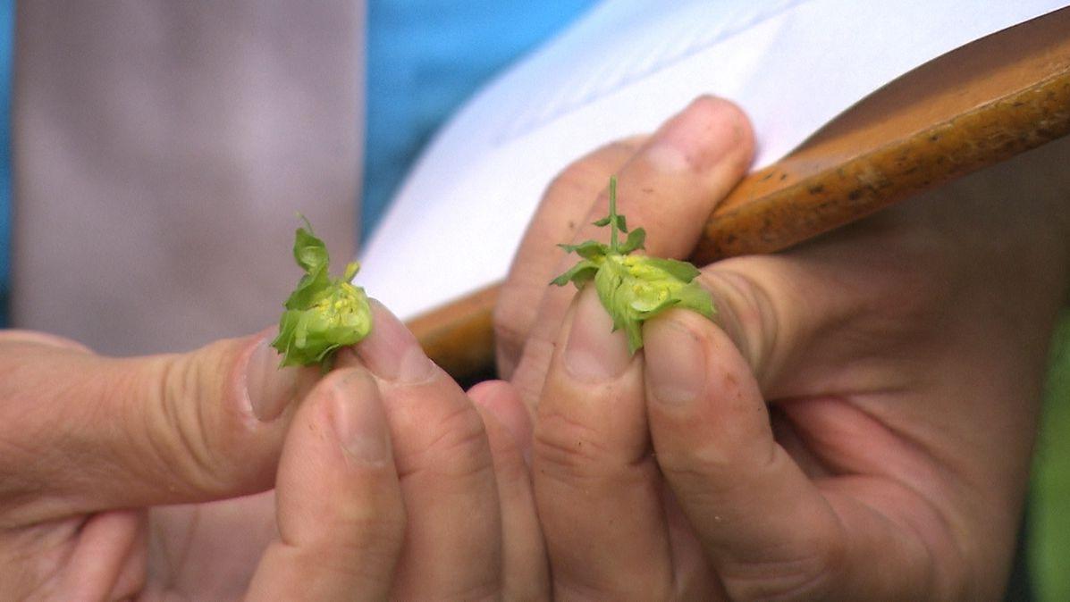 Spalter Hopfenbauern erwarten gut durchschnittliche Ernte