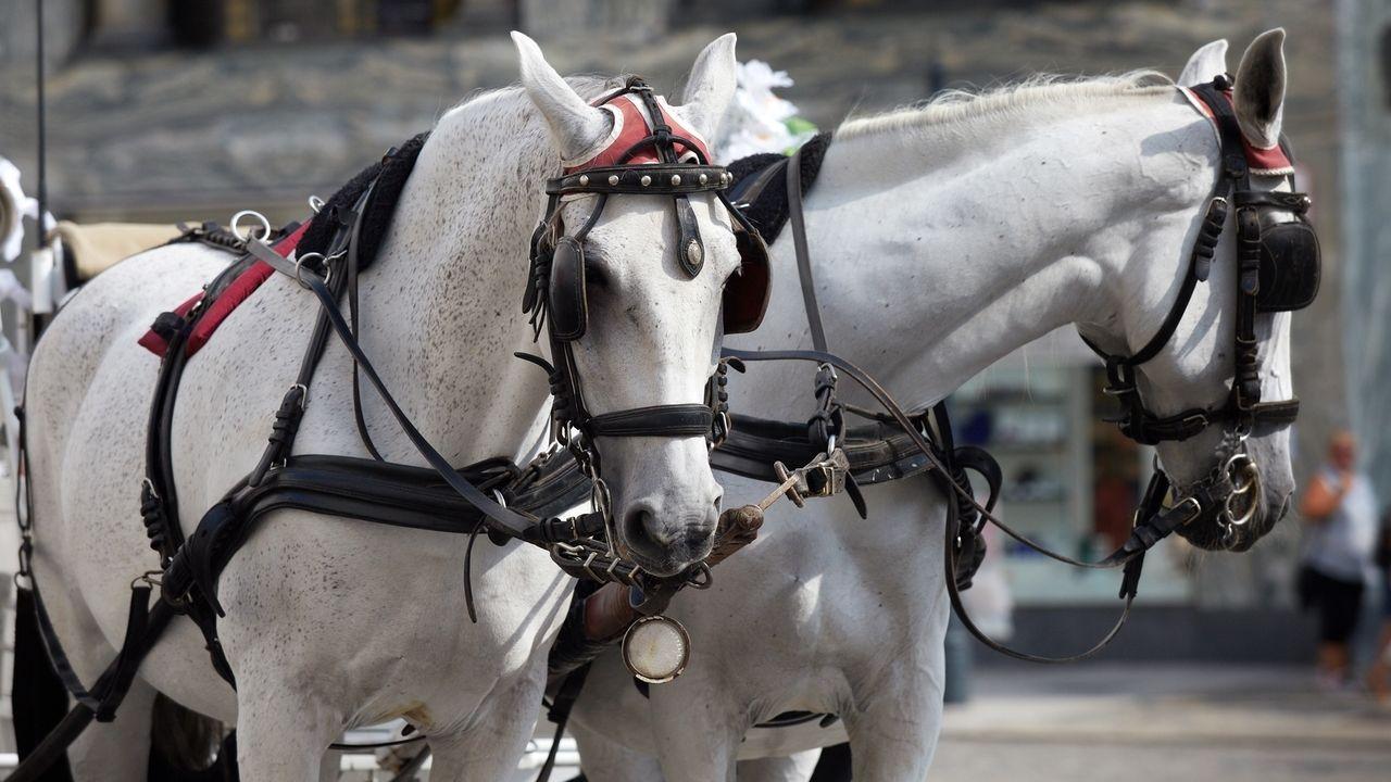 Zwei Schimmel ziehen eine Pferdekutsche