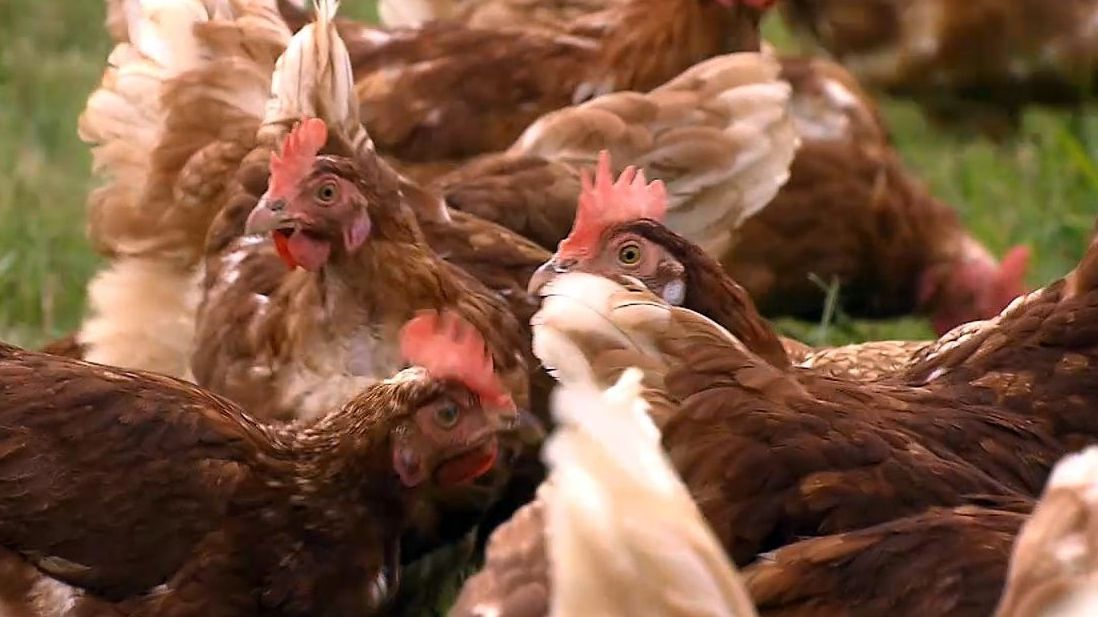Mehrere braune Hühner.